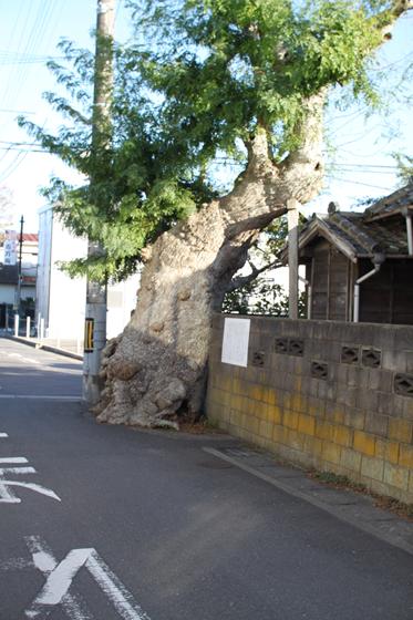 館山市内・保存樹