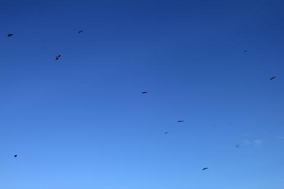 洲崎岬のトンビ
