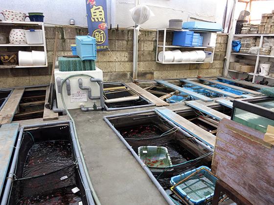 金魚坂・養魚プール
