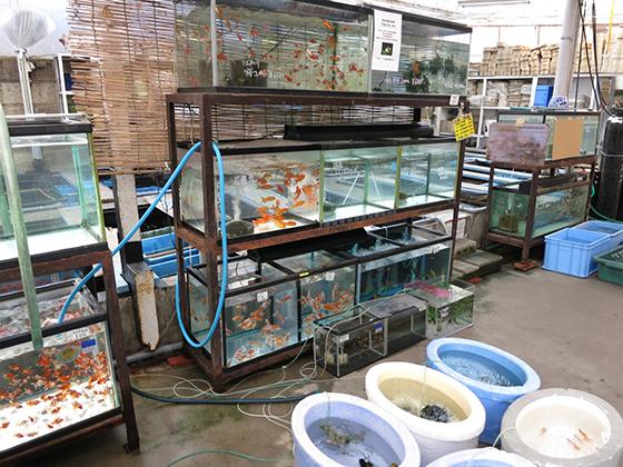金魚坂・水槽