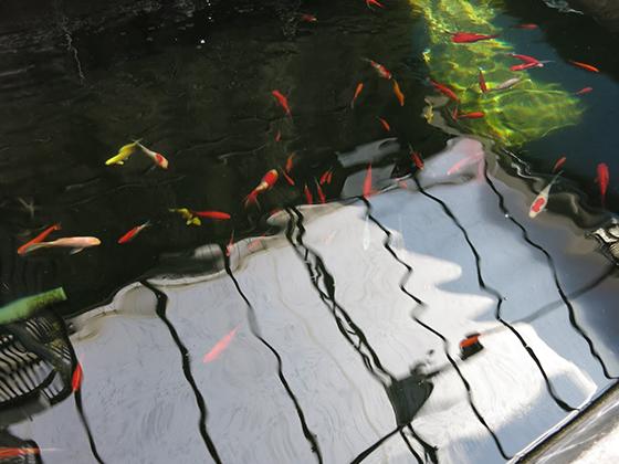 金魚坂・池